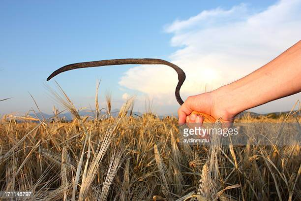 paddy and wheat scythe - scythe stock photos and pictures