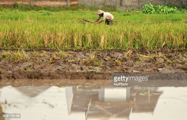 A paddy farmer at work in a rice field in front of the houses in Solo Central Java Indoensia on May 28 Productive rice land in many developing...