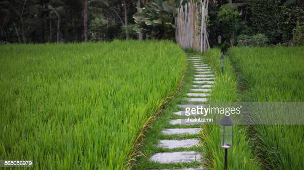 paddy field at ubud - shaifulzamri foto e immagini stock