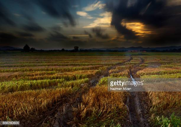 A paddy field during harvesting period with moving clouds.