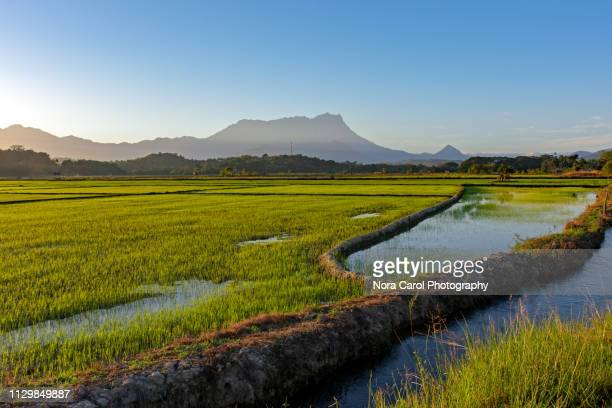 Paddy Field in Kota Belud With Mt. Kinabalu View