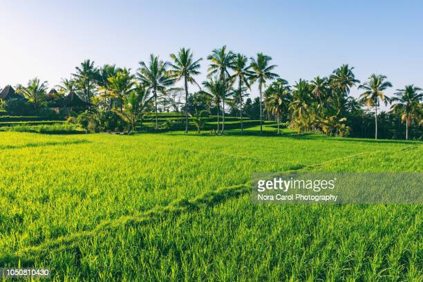 paddy field in ubud bali - rice terrace stockfoto's en -beelden
