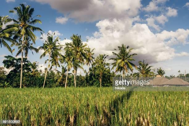 Paddy Field Reis Terrasse und traditionelle Häuser, Bali, Asien