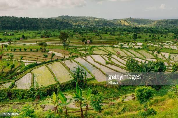 Paddy Field Rice Terrace, Bali, Asia