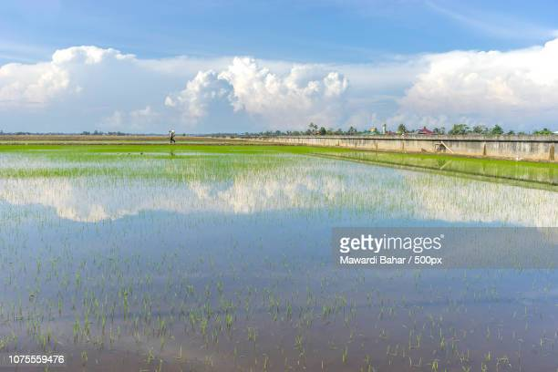 Paddy field with skies reflection at Sungai Besar, Malaysia