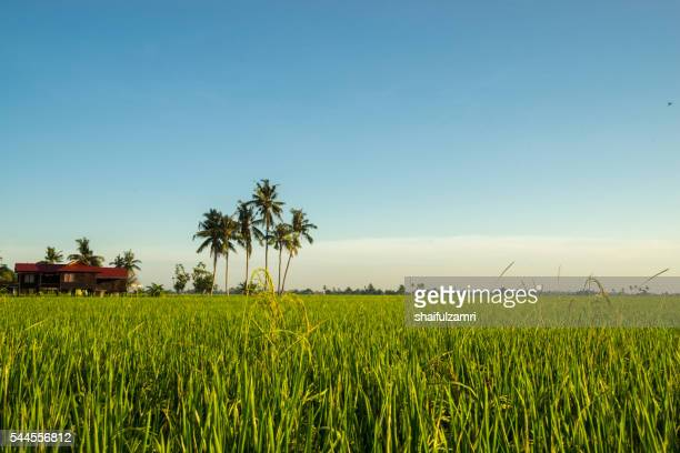 paddy field with sunrise in sungai besar, malaysia - shaifulzamri photos et images de collection