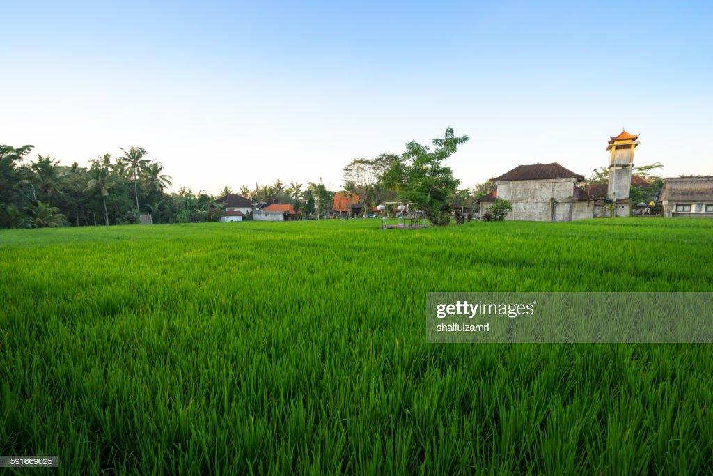 Paddy fields in Bali : Stock Photo
