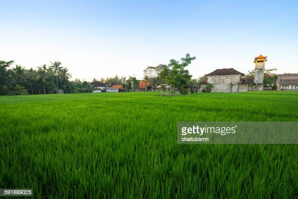 paddy fields in bali - shaifulzamri foto e immagini stock