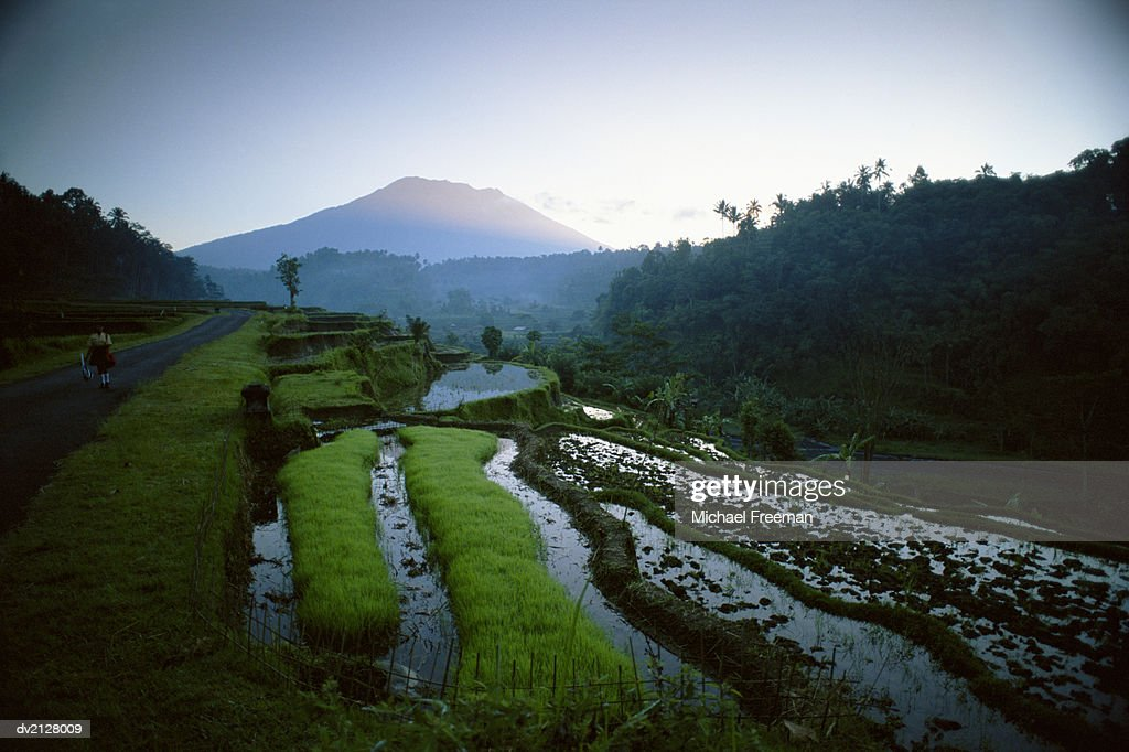 Paddy Fields in Gunung Anung, Bali, Indonesia : Stock Photo
