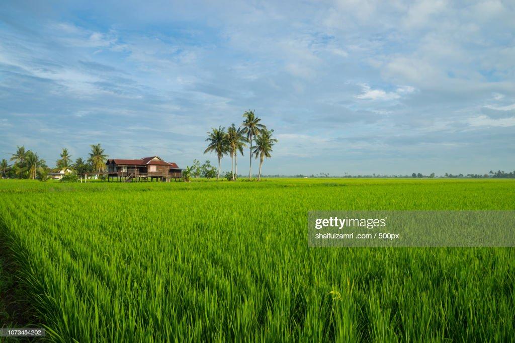 Paddy fields in Sabak Bernam, Malaysia : Stock Photo