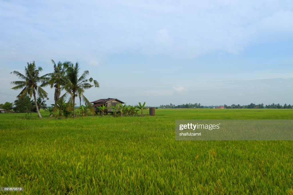 Paddy fields in Sabak Bernam : Stock Photo