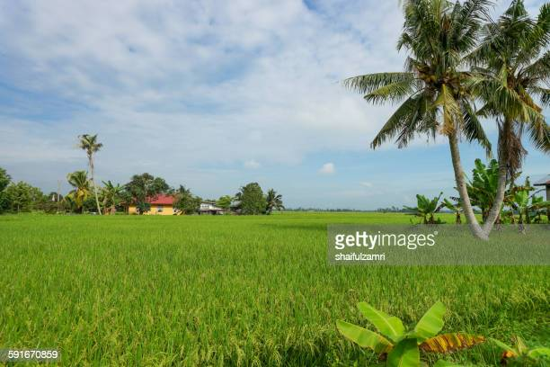 paddy fields in sabak bernam - shaifulzamri stock pictures, royalty-free photos & images