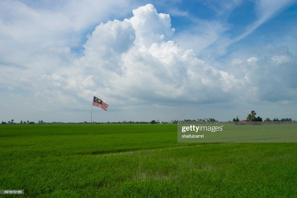 Paddy fields in Selangor : Stock Photo