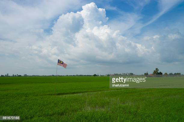 paddy fields in selangor - shaifulzamri stock pictures, royalty-free photos & images