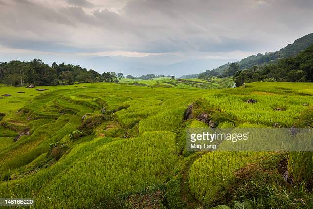 paddy fields in sulawesi, indonesia - rantepao stock photos and pictures