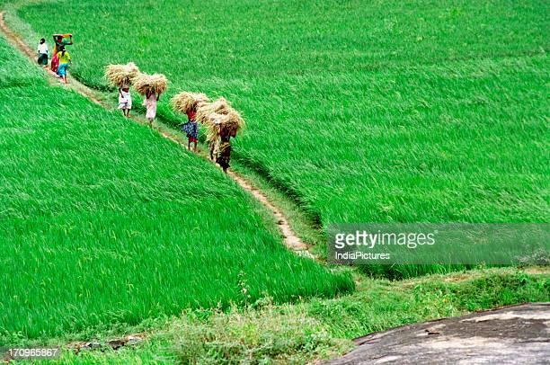 Paddy fields, Kerala, India.