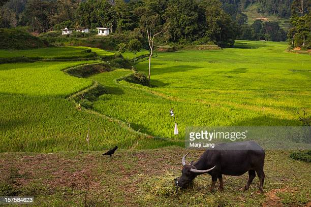 Paddy fields landscape with water buffalo and coq