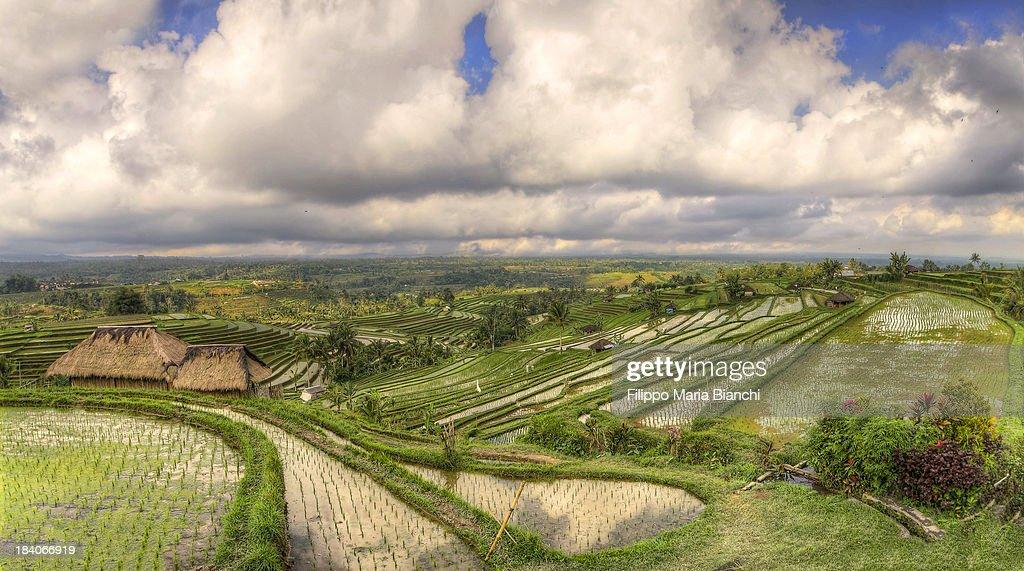 Paddy fields : Stock Photo