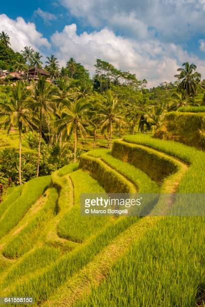 paddy fields. tegalalang rice terrace, bali, indonesia, south east asia. - tegallalang stock photos and pictures