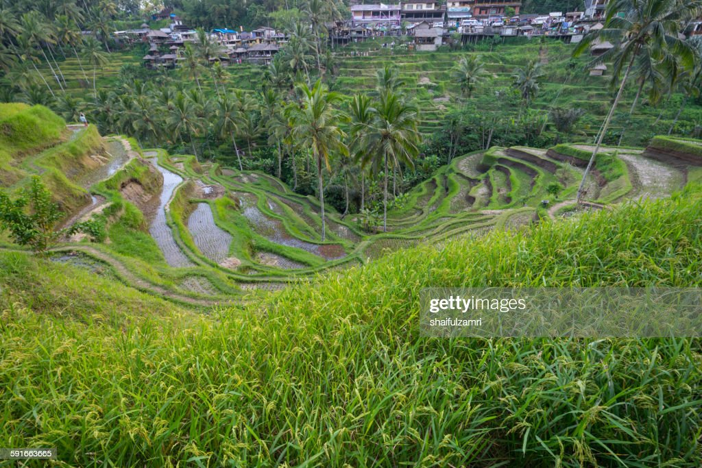 Paddy fileds in Bali : Stock Photo
