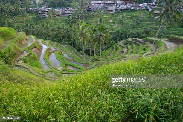 paddy fileds in bali - shaifulzamri stock pictures, royalty-free photos & images