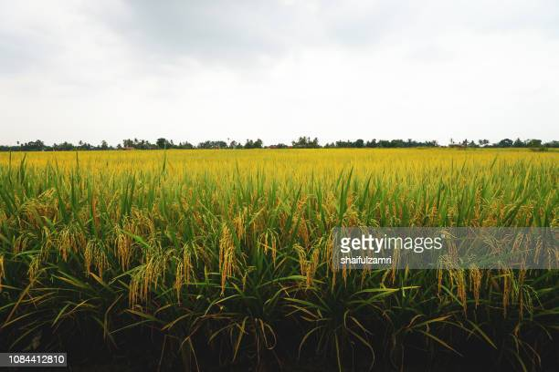 Paddy jasmine rice field over cloudy sky
