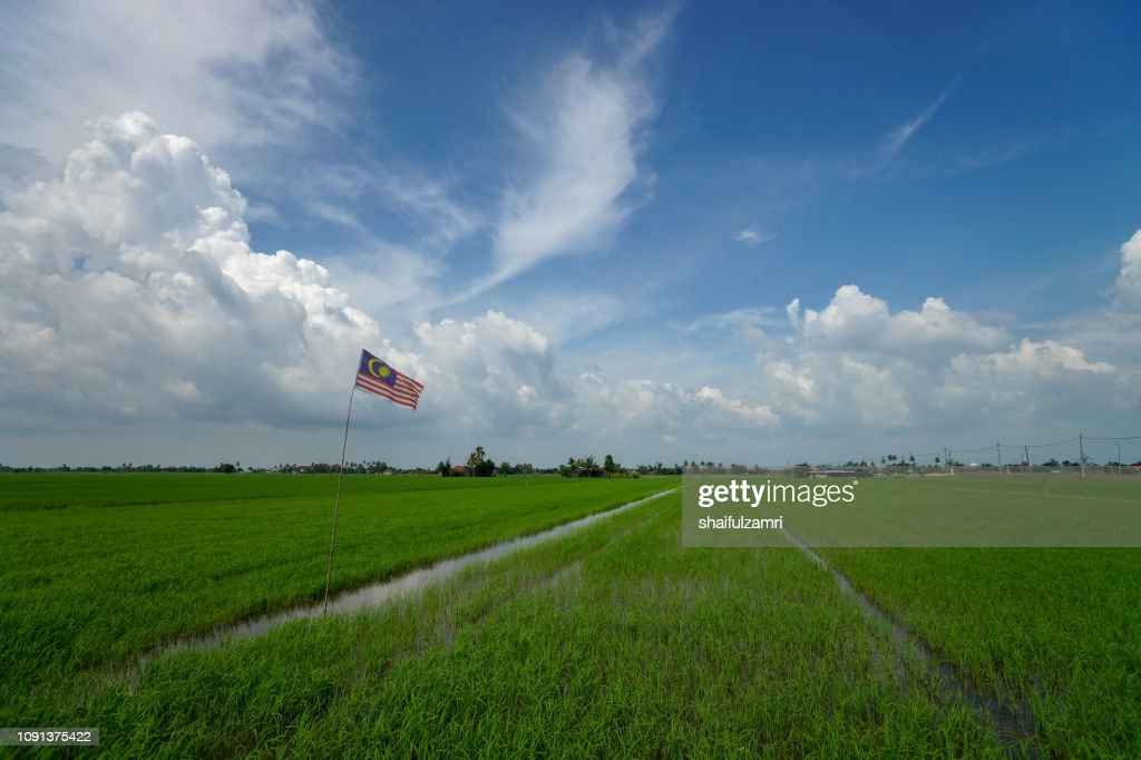 Paddy jasmine rice field with blue sky. : Stock Photo