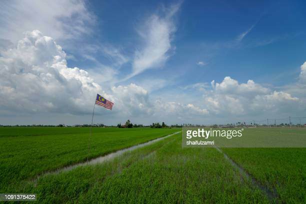 Paddy jasmine rice field with blue sky.