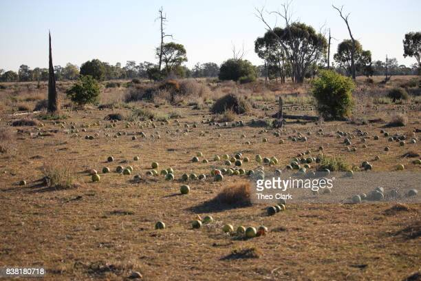 Paddy melons in scrubland
