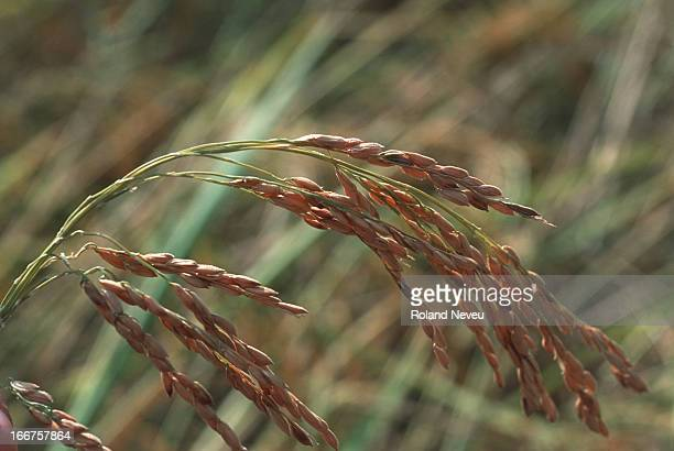 Paddy ready for harvest. Rice is the main agricultural product in Thailand..