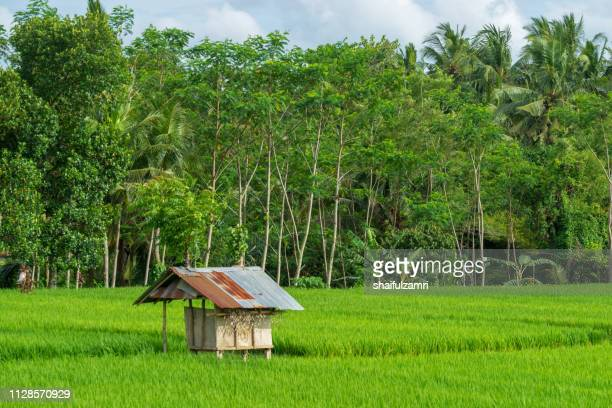 Paddy rice field and small cottage hut at Ubud, Bali, Indonesia.
