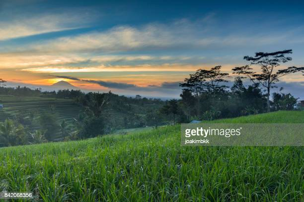 Paddy rice field sunrise in Bali with volcano backdrop