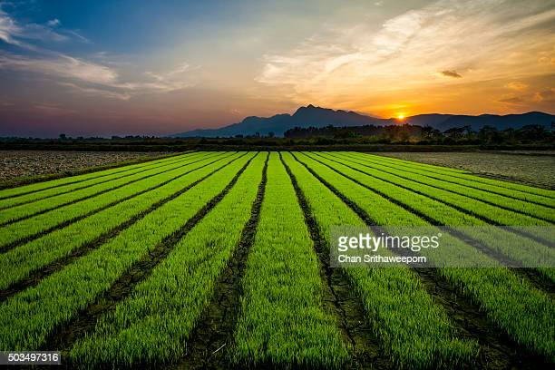 Paddy rice fields before sunset