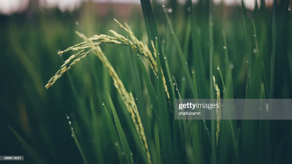 Paddy rice in Bali, Indonesia : Foto de stock