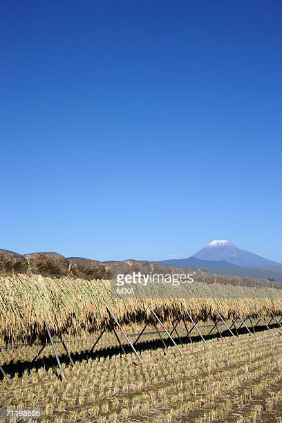 paddy sheaf rack in shizuoka, japan - mishima city stock photos and pictures