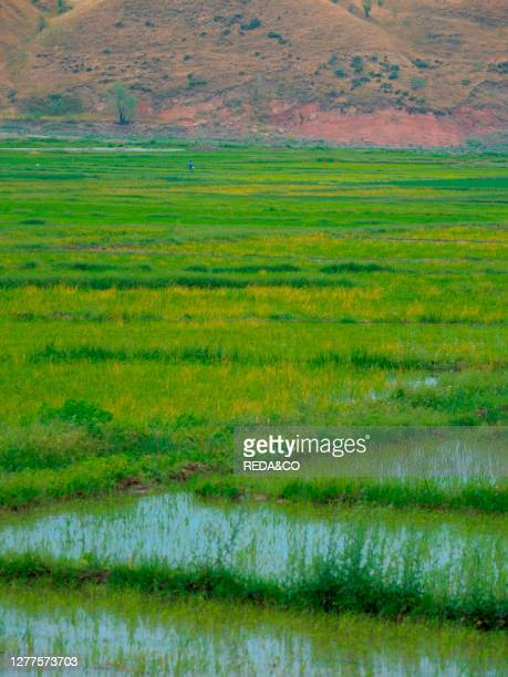 Paddy with rice in Fergana Valley close to the border to Uzbekistan. Asia. Central Asia. Kyrgyzstan.