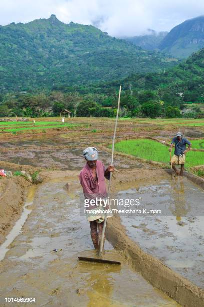 paddy-field in sri lanka - lanka stock pictures, royalty-free photos & images