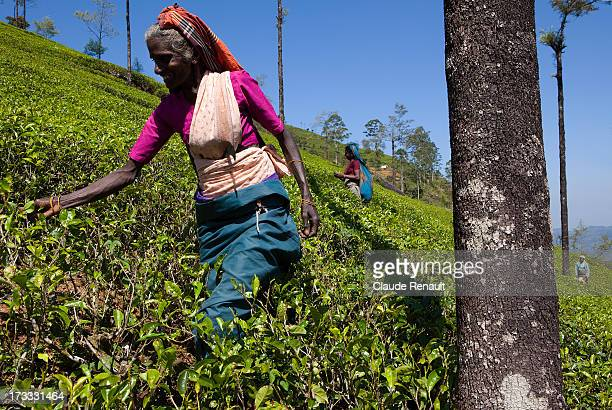 CONTENT] Padmini a Tamil woman plucking up Tea leaves in the Labookellie Tea estate 12 km south of Nuwara Eliya