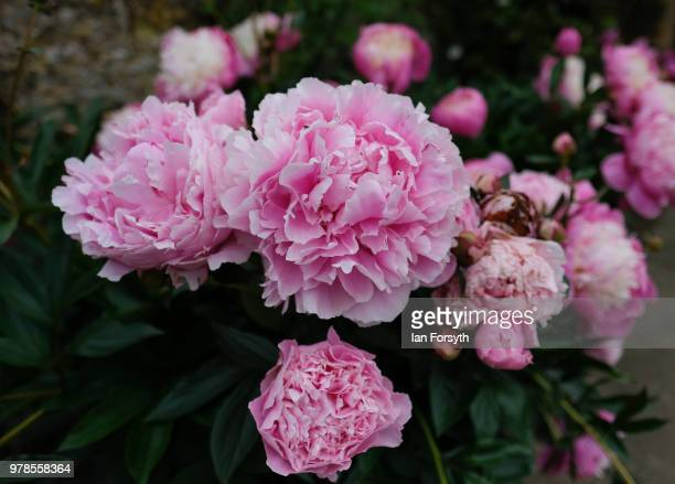 Paeonia Roses grow in the garden at Mount Grace Priory ahead of a media event to launch a new arts and craft style garden created by garden designer...