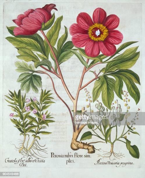 Paeony Hedge Hyssop and Sheep's Sorrel from 'Hortus Eystettensis' by Basil Besler pu I Poenia rubra flore simplici II Gratisla flore albo et Gratia...