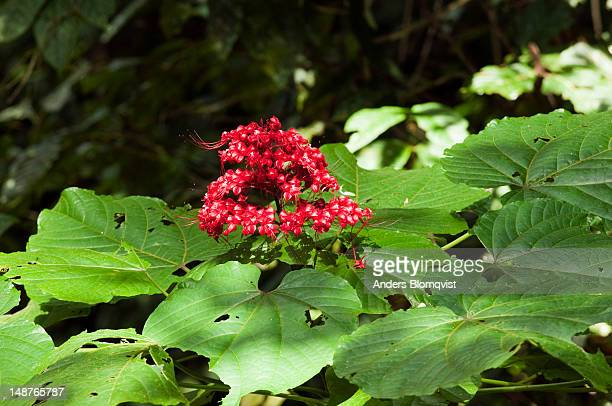 Pagoda Flower (Clerodendrum paniculatum) growing in rainforest.