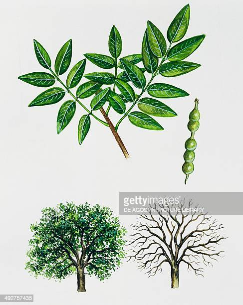 Pagoda tree Fabaceae tree with and without foliage leaves and fruits illustration