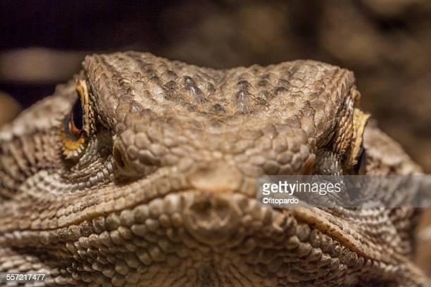 pagona, bearded dragon - galapagos land iguana stock photos and pictures