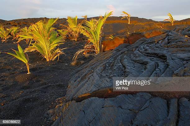 Pahoehoe Lava from Kilauea Eruption and newly planted Palm Trees Kaimu Beach at Kalapana Black Sand Beach Kaimu Bay Puna District Big Island of Hawaii