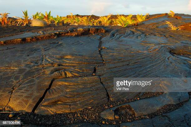 Pahoehoe Lava from Kilauea Eruption and newly planted Palm Trees at Sunrise Kaimu Beach at Kalapana Black Sand Beach Kaimu Bay Puna District Big...