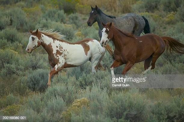 Paint and American Quarter Horses (Equus caballus) running on field