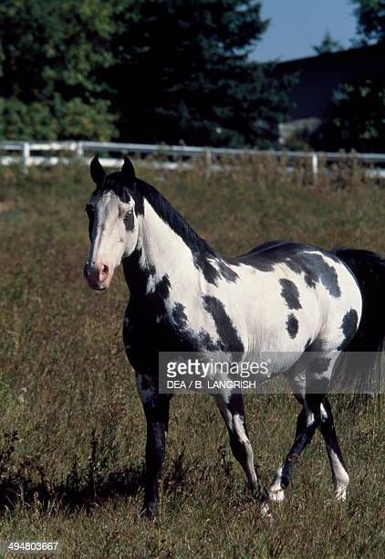 Paint horse Equidae Alberta Calgary Canada