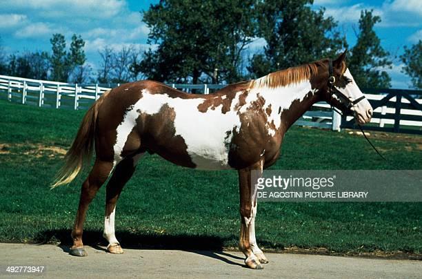 Paint horse Equidae