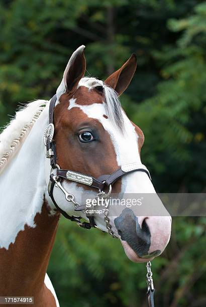 Paint Horse Head Shot, Beautiful Yearling in Silver Show Halter