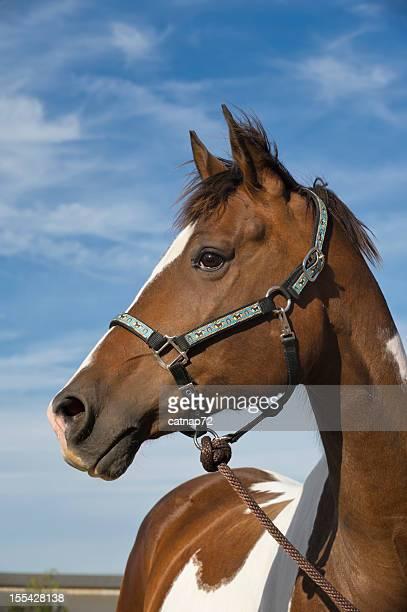 Paint Horse Head Shot, Blue Sky Background, Decorative Halter